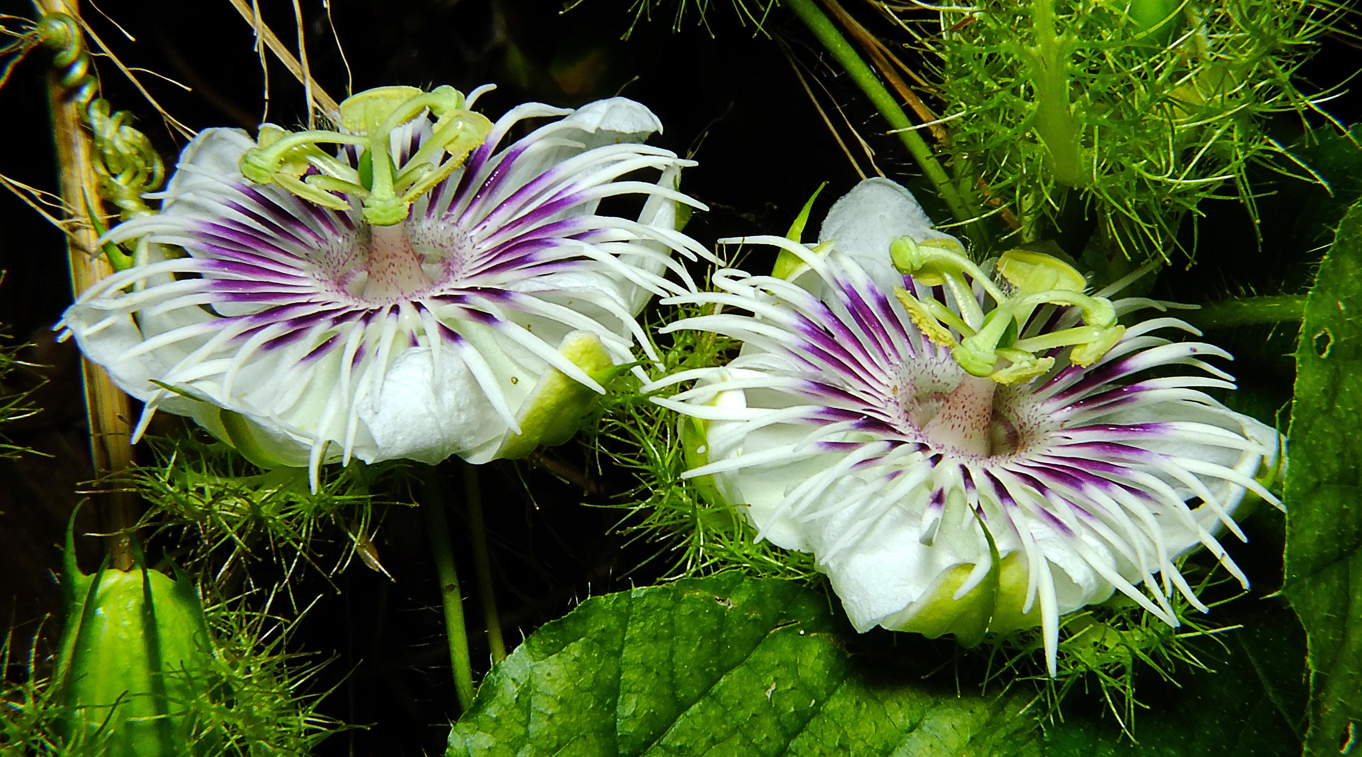 Обои Passiflora foetida, Пассифлора, цветок, макро