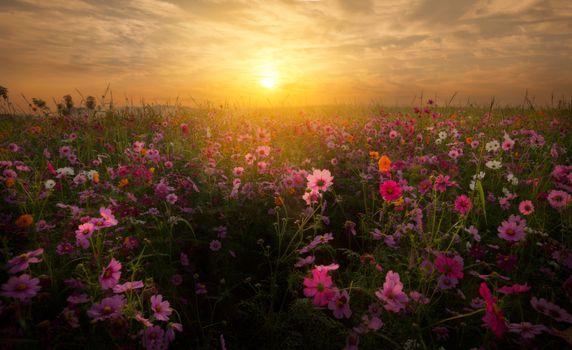 Фото бесплатно поле, цветы, kosmeja
