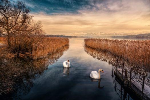 Фото бесплатно Greifensee, лебедь, лебеди