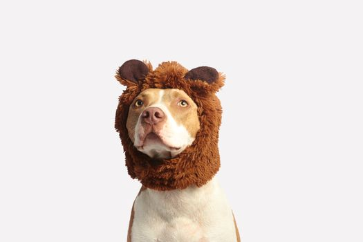 Pit bull hat · free photo