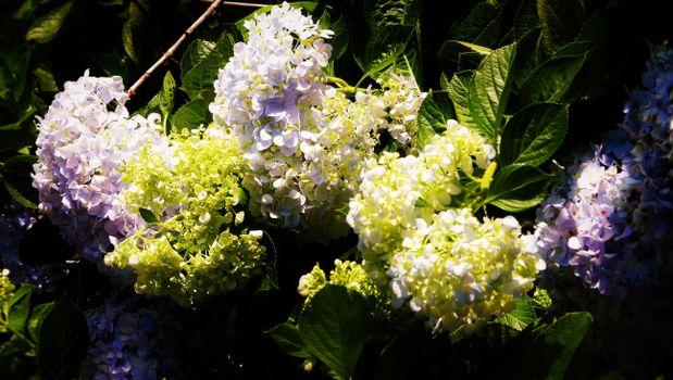 Фото бесплатно белые цветы, сад, растения
