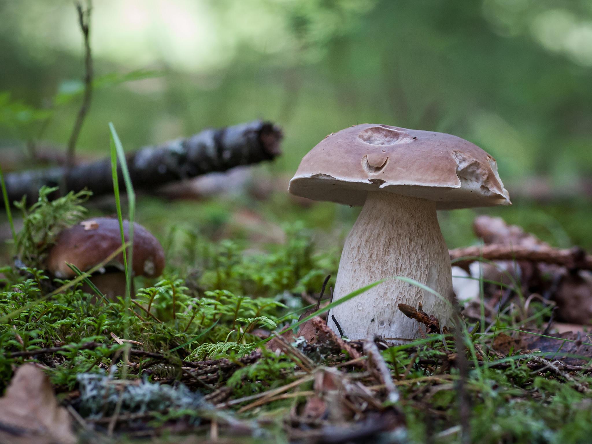 Обои гриб, белый, белый гриб, природа