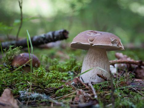 Бесплатные фото гриб,белый,белый гриб,природа