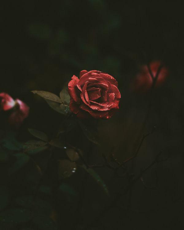 Обои роза, бутон, капли картинки на телефон
