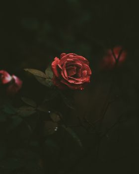 роза,бутон,капли,темный фон,rose