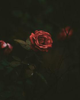 Фото бесплатно роза, бутон, капли