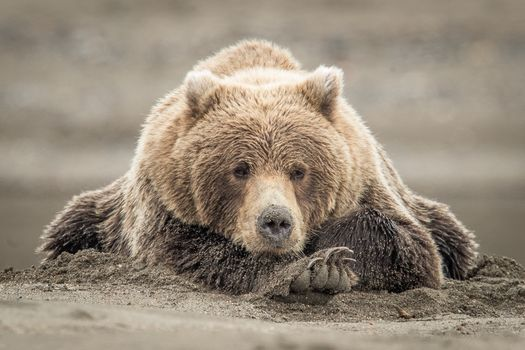Заставки Brown Bear, аляска, хищник