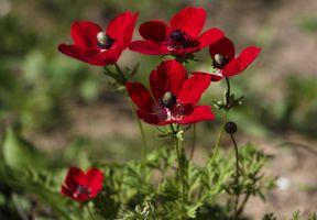 Фото бесплатно цветок, красный, анемоны