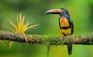 Фото бесплатно Арасари, птица с мощным красивым клювом, Pteroglossus