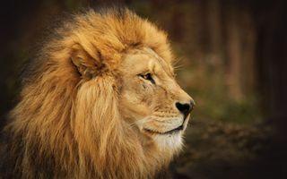 Фото бесплатно лицо, лев, дикая природа