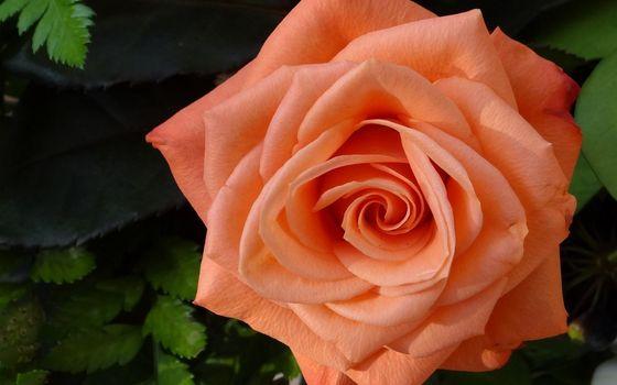 Photo free plant stem, rose order, garden roses