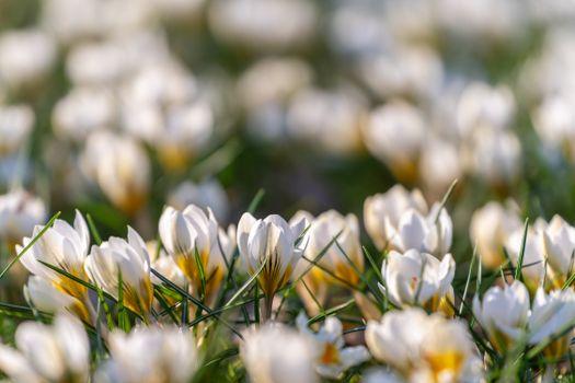 Фото бесплатно много крокусов, белые цветы, белый