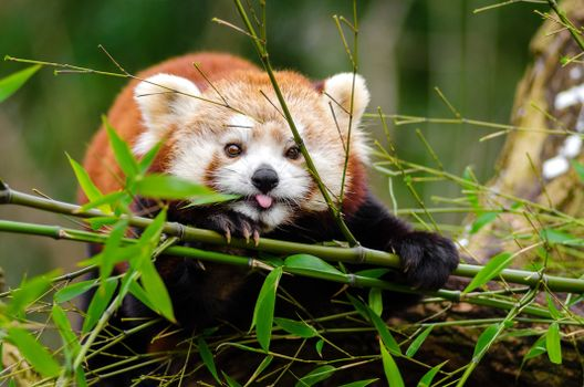 Photo free red panda, cute, bamboo