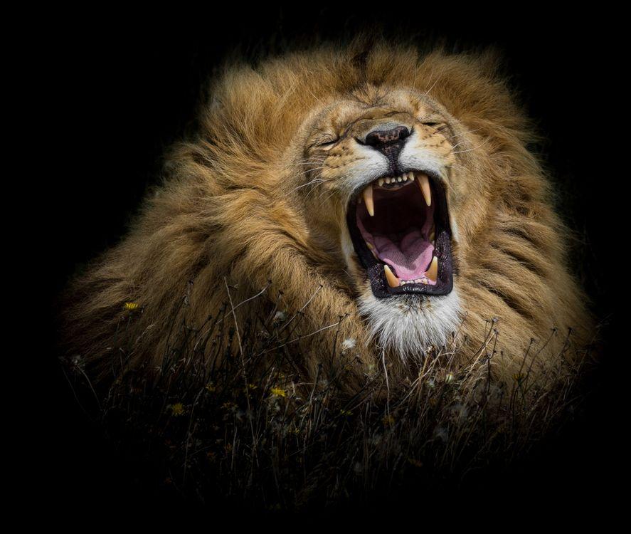 Обои лев, хищник, оскал картинки на телефон