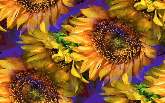 Бесплатные фото подсолнухи,цветы,флора
