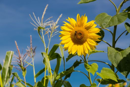 Sunflower and bumblebee · free photo