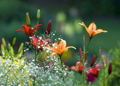 Заставки красная лилия, оранжевая, размытая