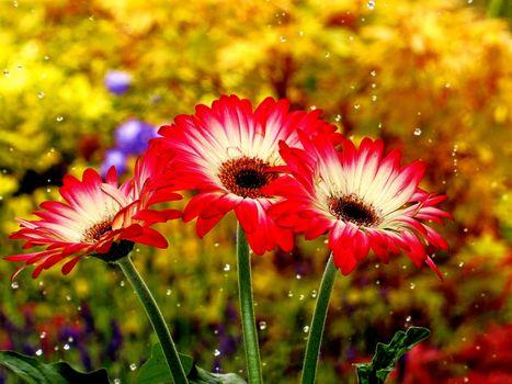 Фото бесплатно Gerbera, цветы, букет