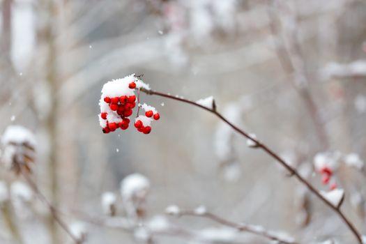 Рябина и снег · бесплатное фото