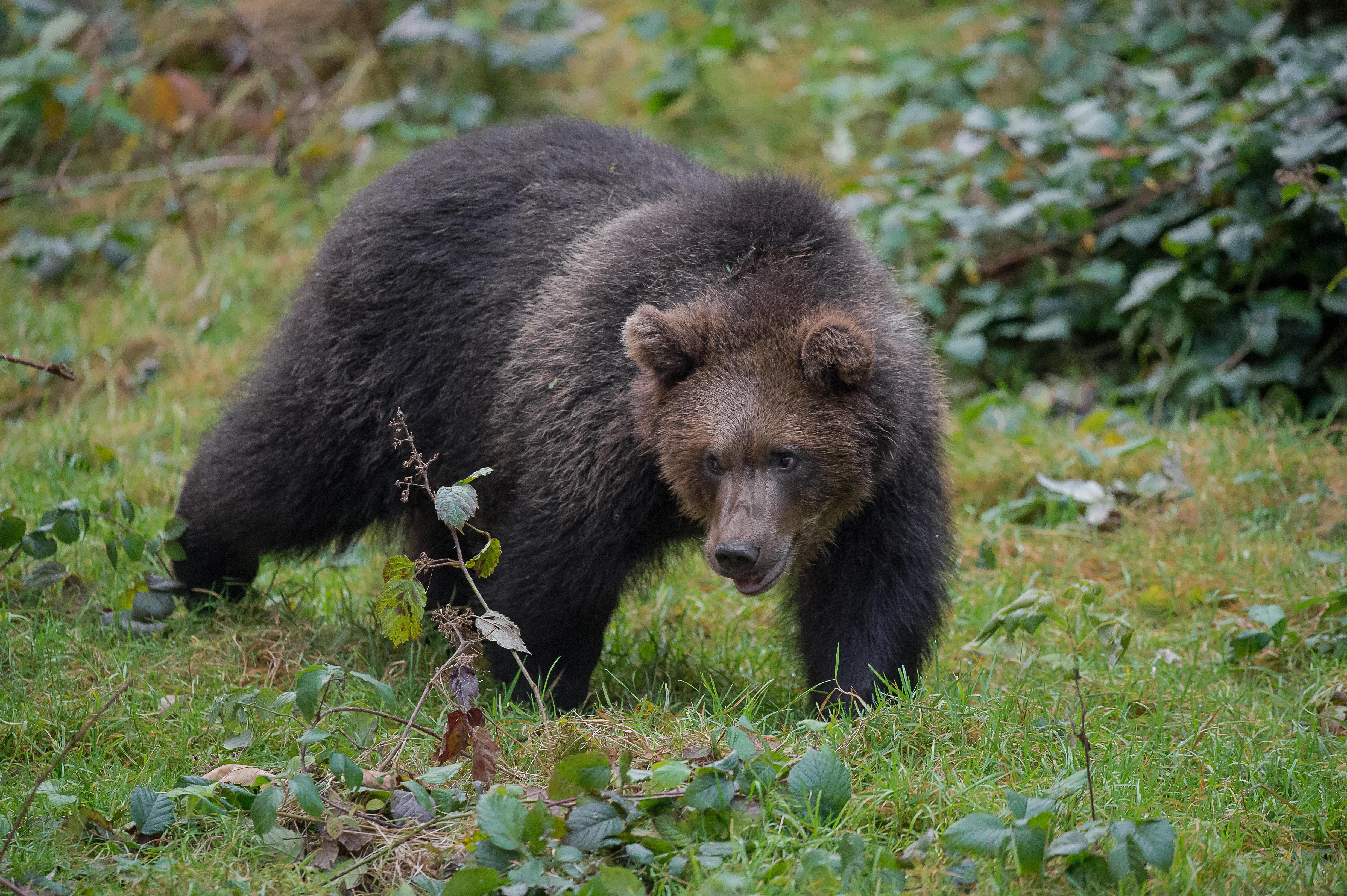 Обои Бурый медведь, хищное млекопитающее, животное