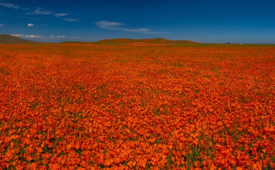Photo free red poppies, poppies fields, red
