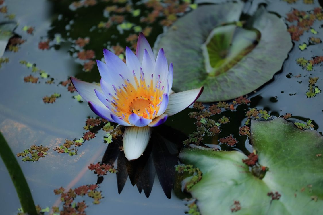 Beautiful pictures of water lily, pond free