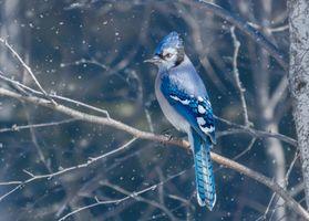 Бесплатные фото Голубая сойка птица,дерево,ветка,птица на ветке,снег