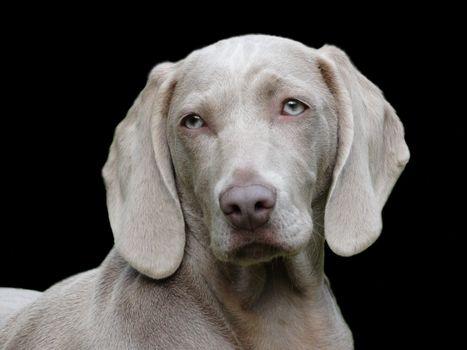 Photo free eyes, dog, labrador retriever