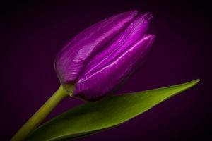 Заставки Purple tulip, тюльпан, цветок
