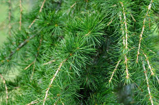 Фото бесплатно сосны, наземное растение, вечнозелёный