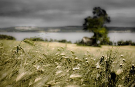 Заставки поле, пшеница, пасмурно