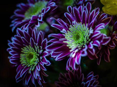 Photo free chrysanthemum, macro, flowers