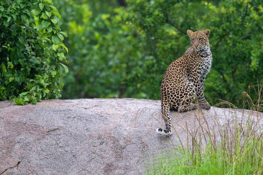 Фото бесплатно леопард, лес, камень