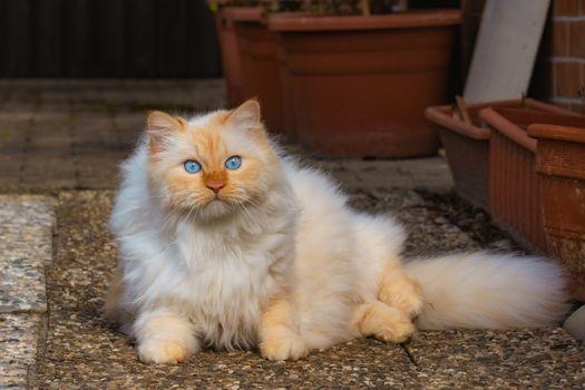 Фото бесплатно пушистый, белый, голубые глаза