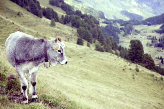 Photo free cow, field, grass