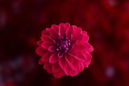 Фото бесплатно георгина, красный, розовый