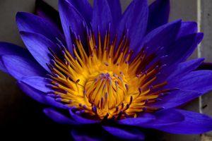 Фото бесплатно макро, голубой лотос, лепестки