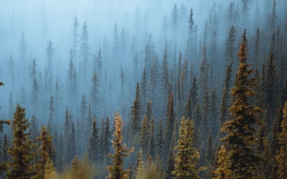 Фото бесплатно сосны, туман, деревья