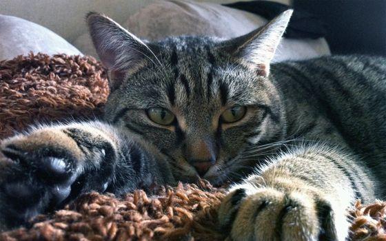 Photo free Tabby, lying back, lazy