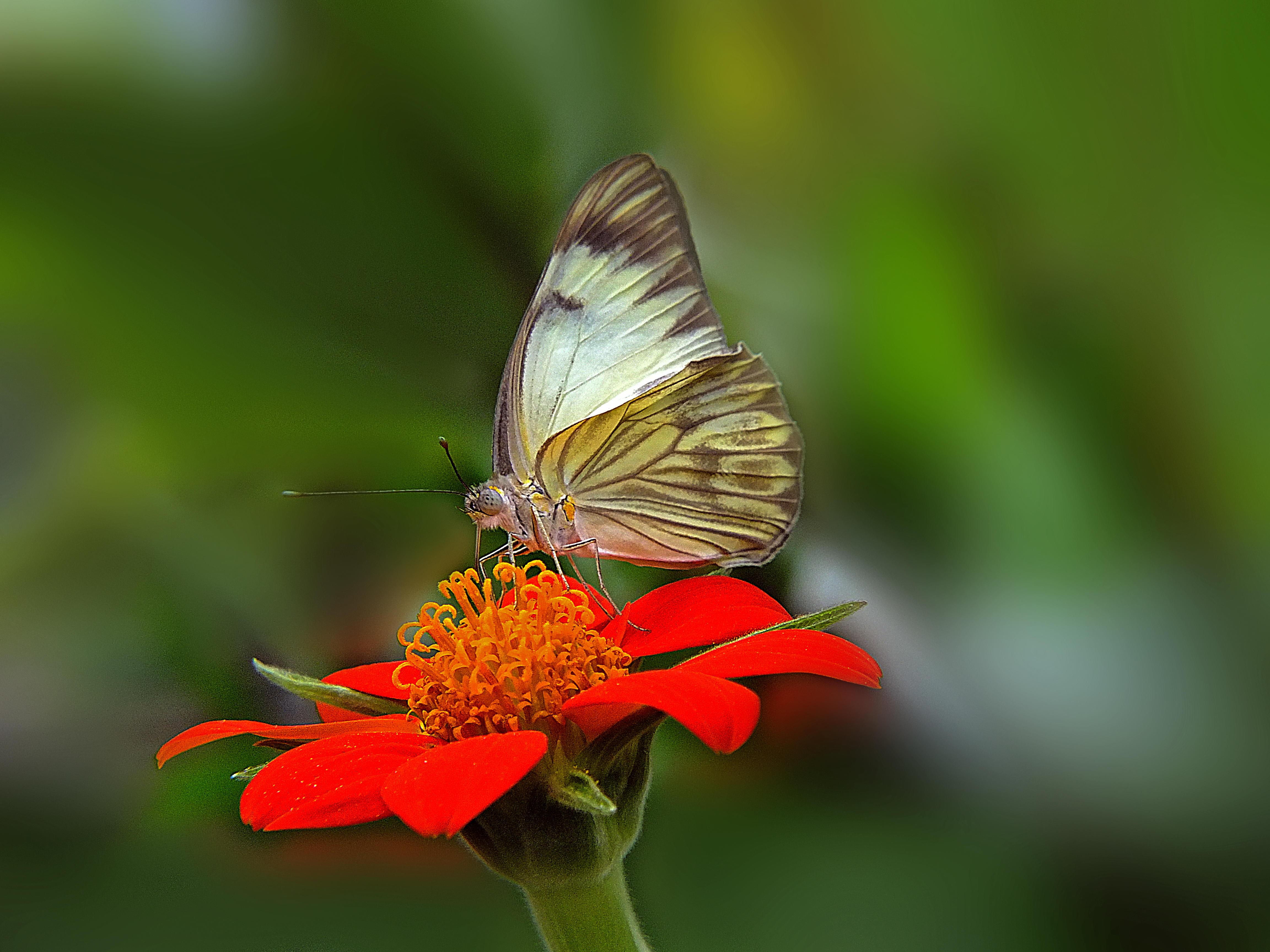 Обои бабочка, цветок, бабочка на цветке
