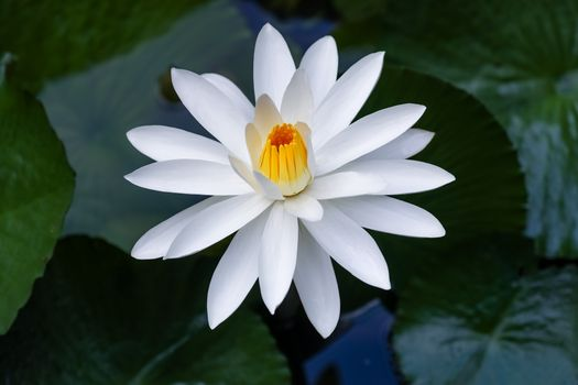 Download water lily, water lilies photo site fonwall
