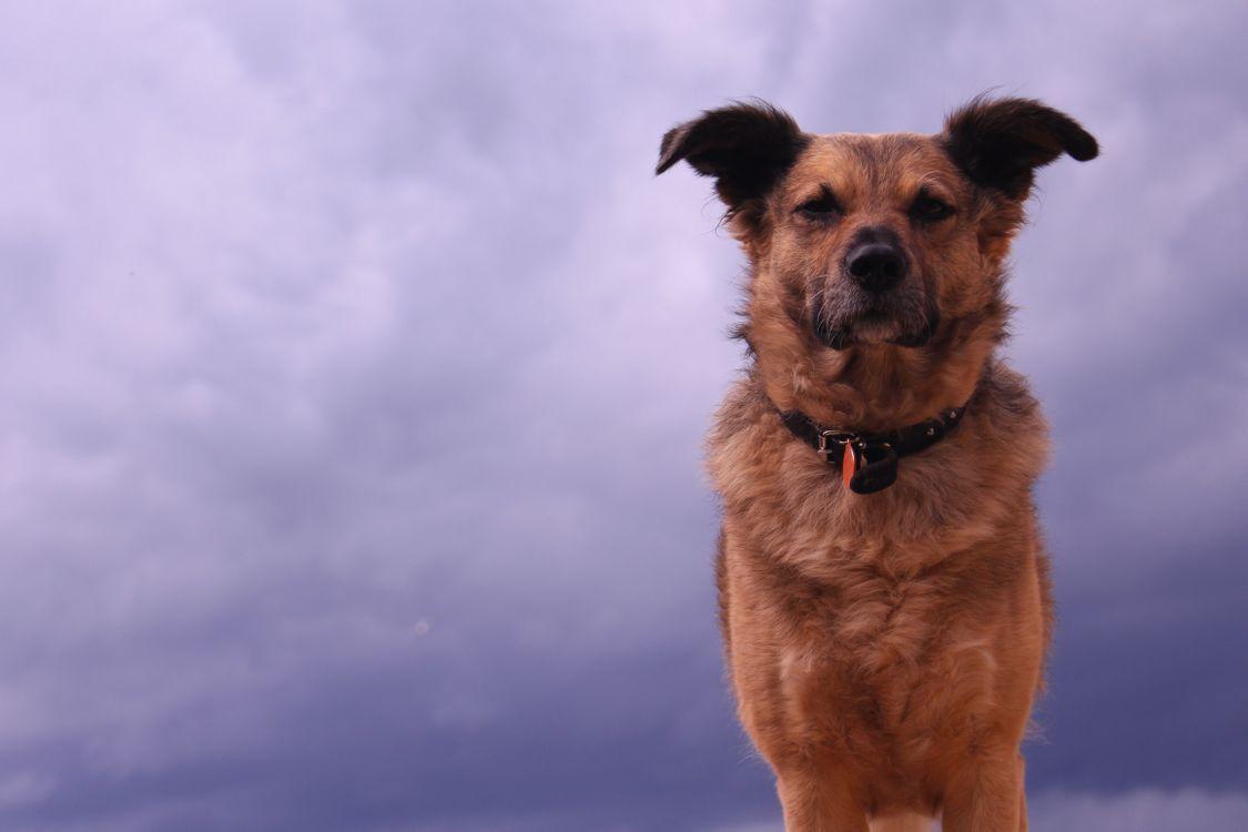 Фото бесплатно собака, взгляд, уши - на рабочий стол