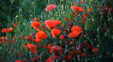 Заставки цветы, красный, много