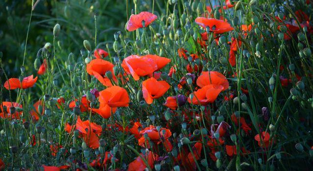 Фото бесплатно цветы, красный, много