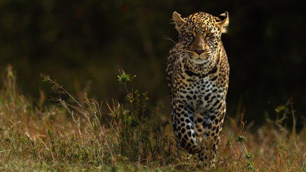 Фото бесплатно леопард, походка, трава
