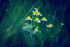 Photo free field, chamomile, ears