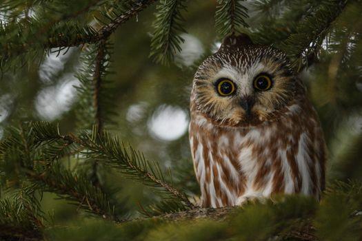 Photo free owl, birds, eyes