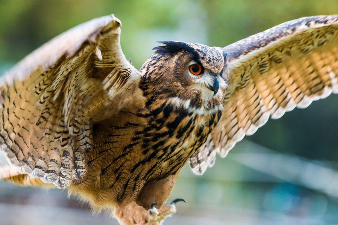 Фото сова крылья хищник - бесплатные картинки на Fonwall