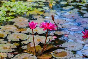 Бесплатные фото Water Lilies,водяная лилия,водяные лилии,водоём,цветы,цветок,флора
