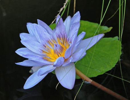 Download water lily, water lilies picture